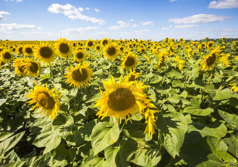 Blooming yellow sunflowers field. Summer landscape. Blooming yellow sunflowers field. Summer nature landscape stock photo