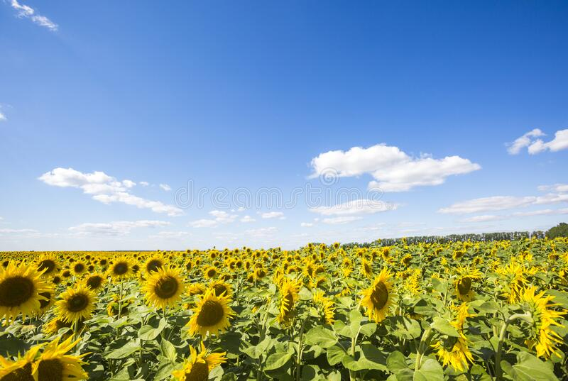 Blooming yellow sunflowers field. Summer landscape. Blooming yellow sunflowers field. Summer nature landscape royalty free stock image
