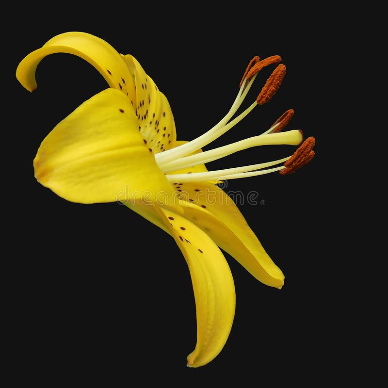 Blooming yellow tiger lily flower on a black background stock image