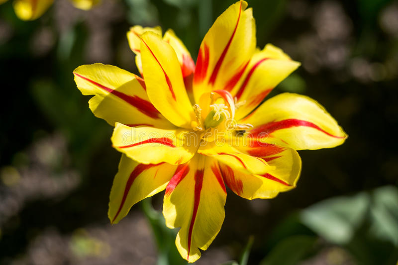 The blooming yellow tulip in the spring stock photo