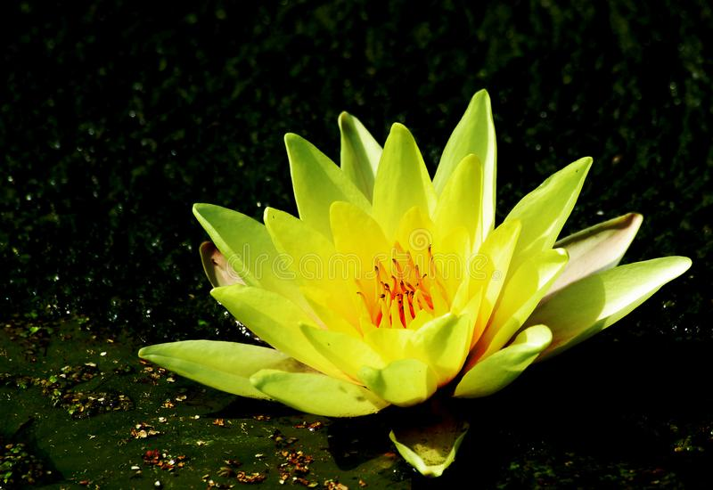 Blooming yellow water lily on the edge of the pond royalty free stock photography
