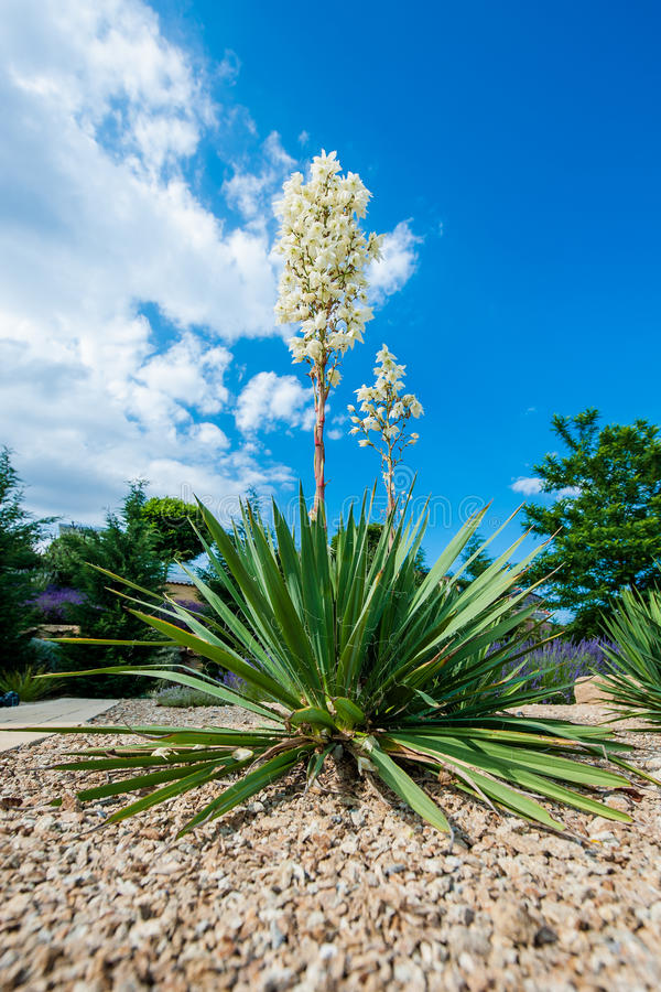 Download Blooming Yucca Bush Stock Photo - Image: 38803428
