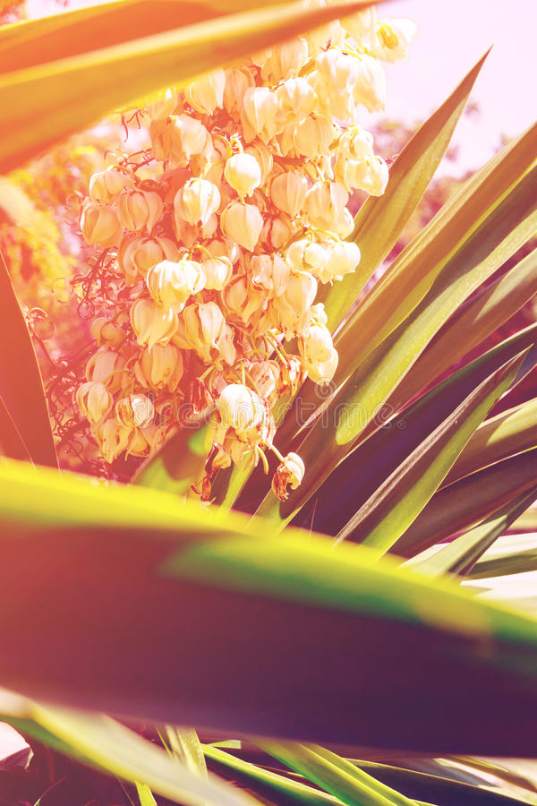 Blooming Yucca palm tree with delicate white flowers and spiky green leaves. Beautiful soft sunlight royalty free stock images