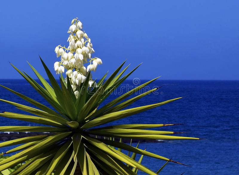 Blooming Yucca plant on a blue sky background.Spanish bayonet tree. Joshua tree.Yucca aloifolia. Vibrant background for wallpaper with copy space stock photo