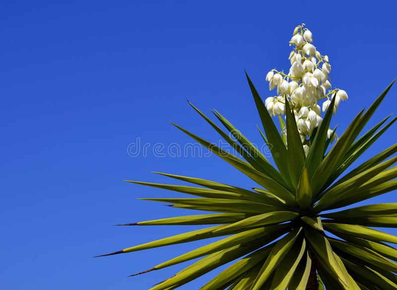 Blooming Yucca plant on a blue sky background.Spanish bayonet tree. Joshua tree.Yucca aloifolia. Vibrant background for wallpaper with copy space stock photos