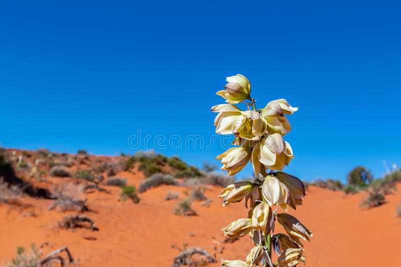 Blooming yucca plant. Monument Valley Tribal Park, USA. Blooming yucca plant in the desert. Plant flower against red sand and blue sky background. Monument royalty free stock image