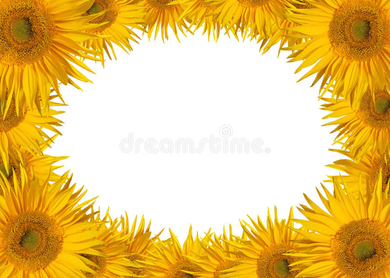 Blooms. Beautiful sunflower blooms isolated on white stock images