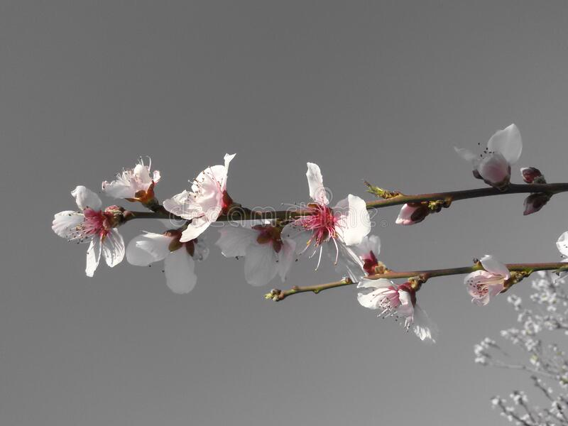 Blooms on apricot tree royalty free stock photo