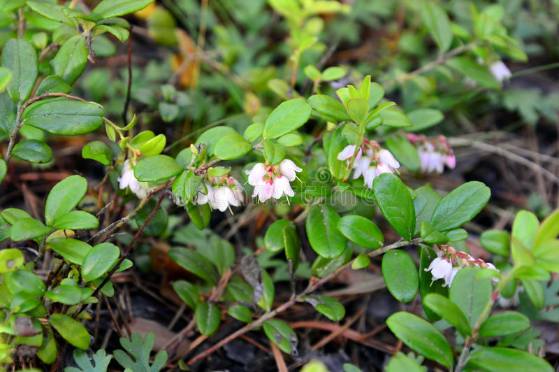 Blooms cranberry. & x28;Lat Vaccinium vitis-idaea& x29; stock photo