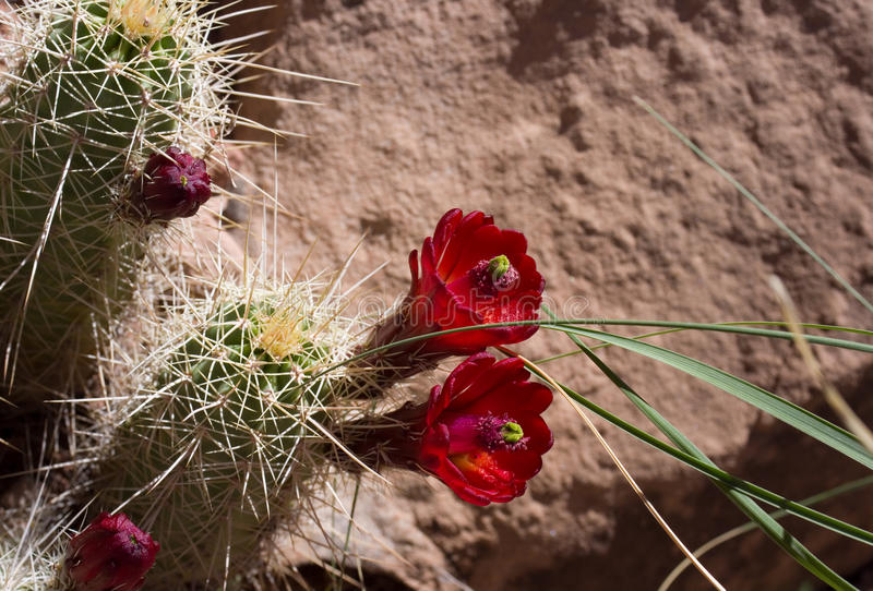 Blooms On Hedgehog Cactus Royalty Free Stock Photography
