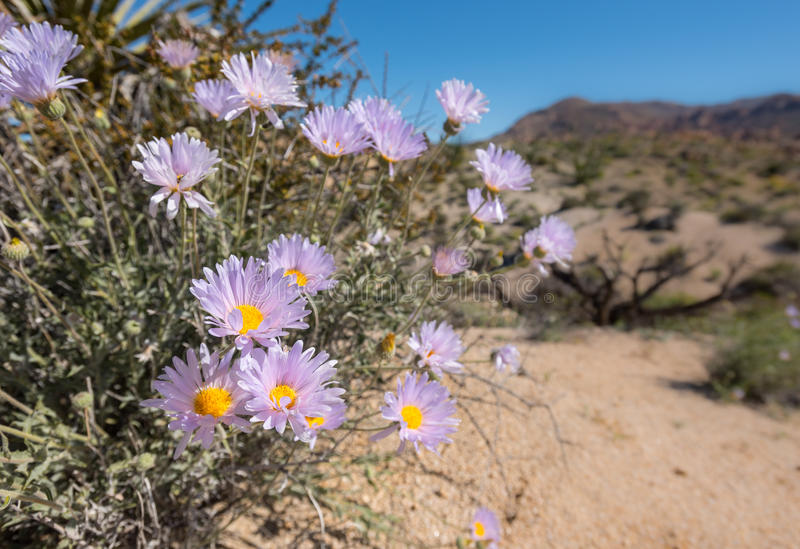 Blooms of Mojave Aster in California Desert. After a rainy winter stock photo