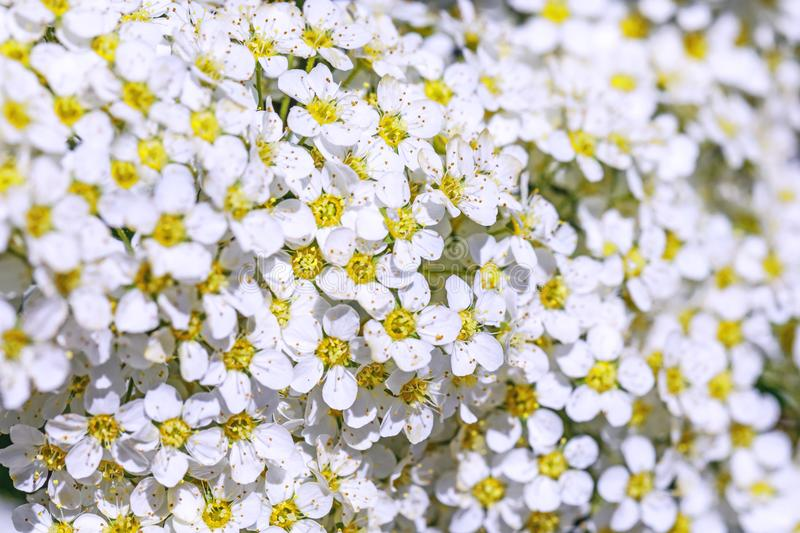 Blooms of the spiraea shrub spiraea in macro key picture. Beautiful flowers texture of spiraea cinerea. Spring flowers pattern. C. Lose up of spring white royalty free stock photography
