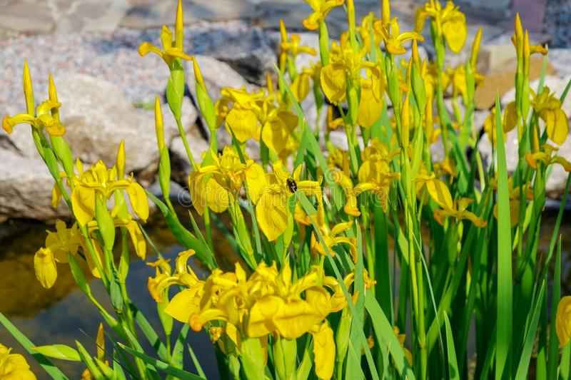 Blooms of yellow water iris in a fake garden pond stock images
