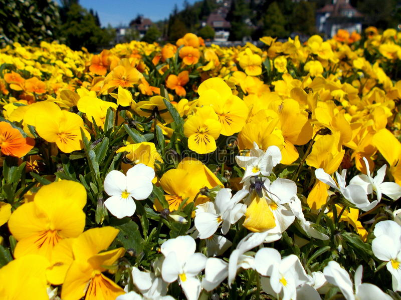 Blooms. Yellow and white flowers in a park stock photos