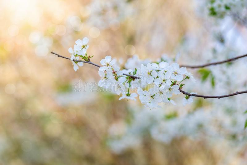 A bloomy branch of a spring tree. A closeup of a bloomy branch with numerous white flowers of a spring tree at blurred green background. The concept of awaken royalty free stock image
