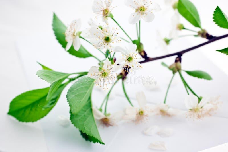 Bloomy cherry branch on envelope. White bloomy cherry branch on a blank paper envelope stock photography