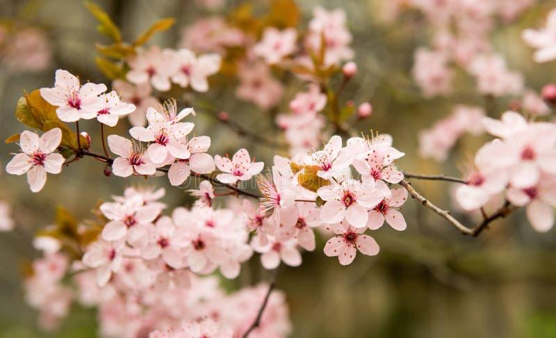 Bloomy cherry tree. At springtime stock photo