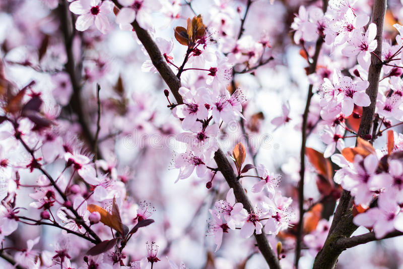 Bloomy cherry tree. Pink bloomy cherry tree in spring time stock photos