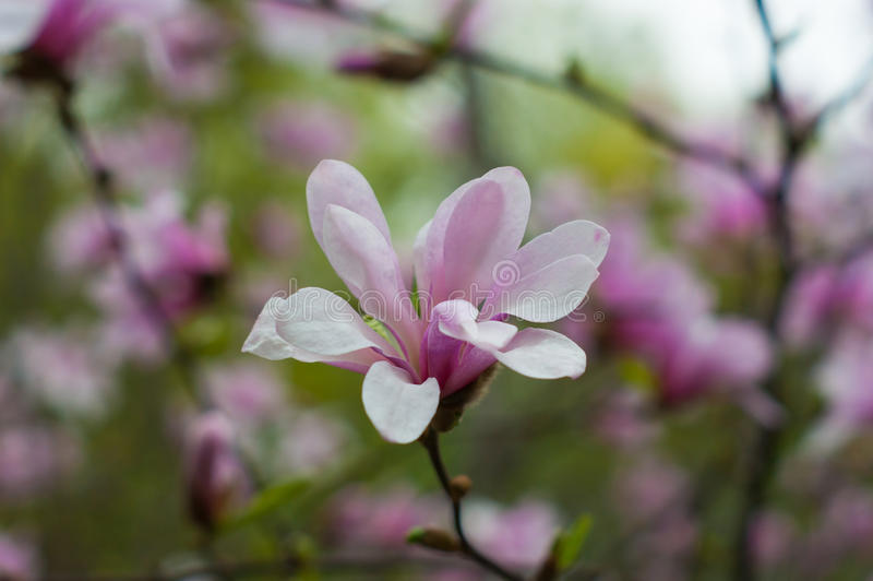 Bloomy magnolia tree. With big pink flowers royalty free stock images