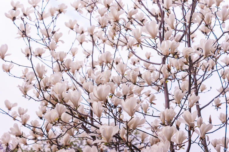 Bloomy magnolia tree. With big pink flowers stock image