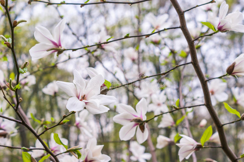 Bloomy magnolia tree. With big pink flowers royalty free stock image