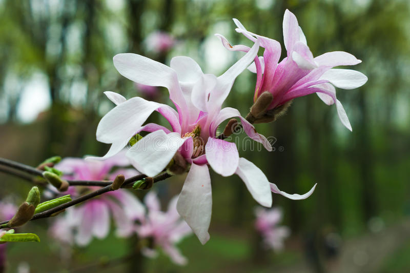 Bloomy magnolia tree. With big pink flowers stock photos