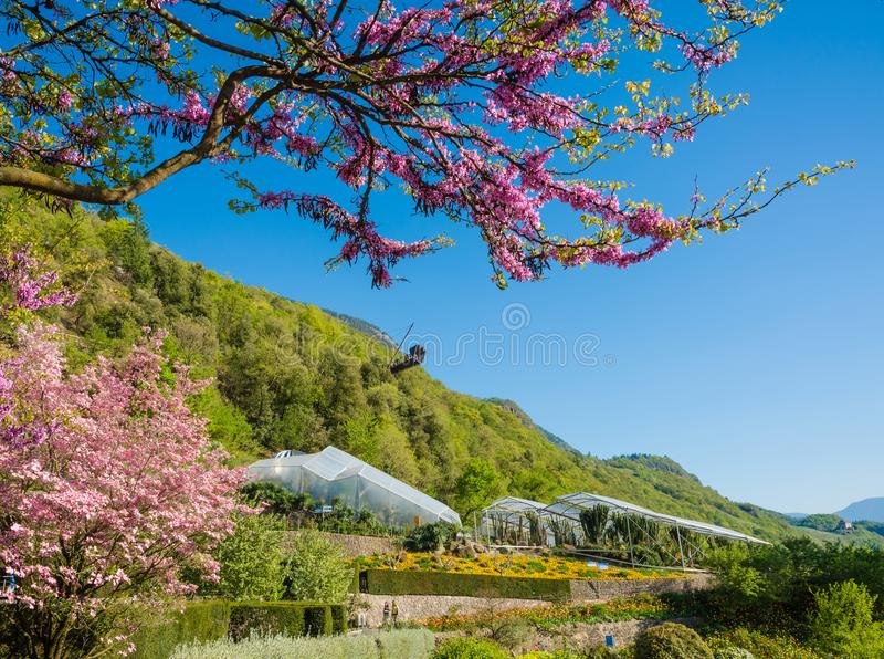Bloomy magnolia tree with pink flowers in the garden. In springtime royalty free stock image