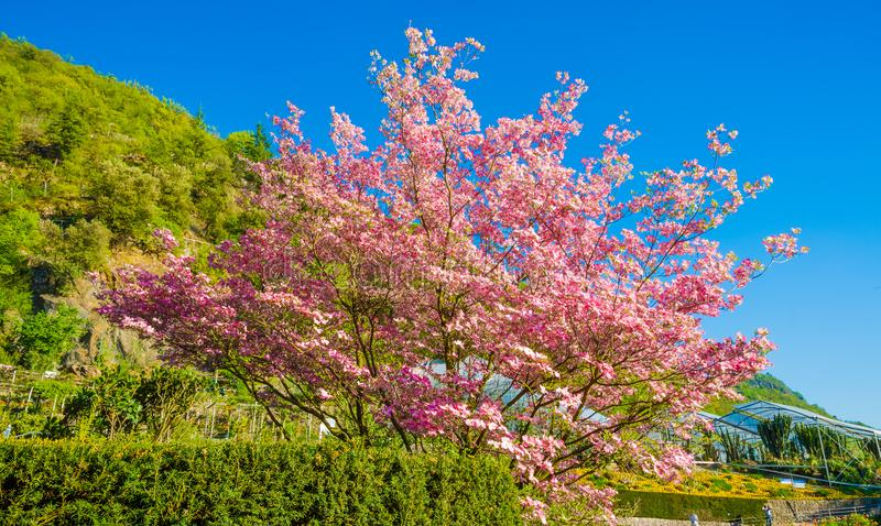 Bloomy magnolia tree with pink flowers in the garden. In springtime royalty free stock photos