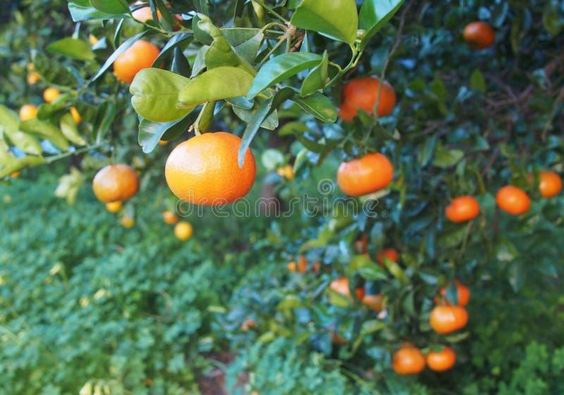 Bloomy mandarina garden in Valencia. Spain stock image