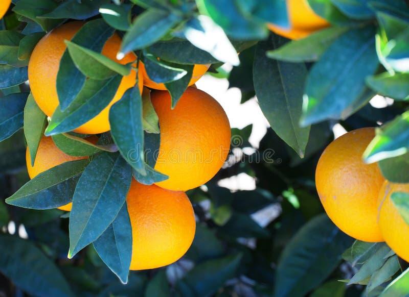 Bloomy orange garden in Valencia. Spain royalty free stock photo