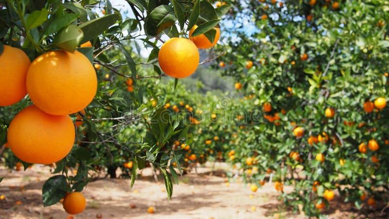 Bloomy orange träd och ett berg i Valencia, Spanien royaltyfria bilder