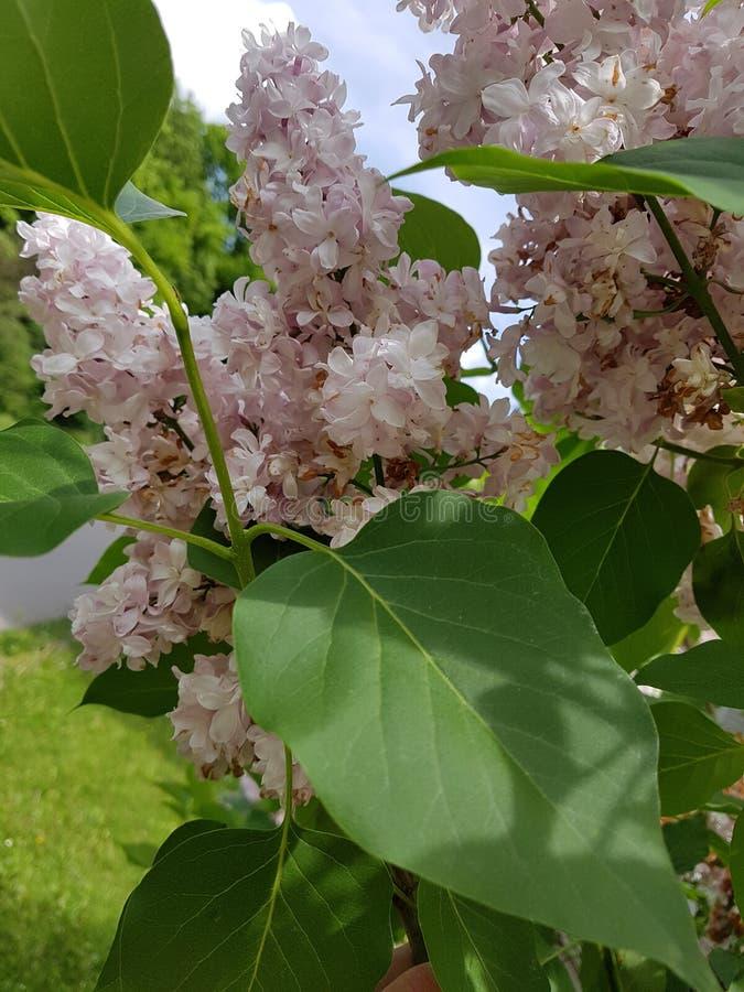 Bloomy syringa. Bloomy siringa white royalty free stock photos
