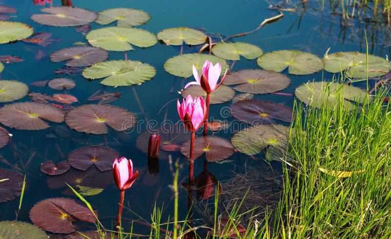 Bloosom-Blume in Teich lizenzfreie stockbilder