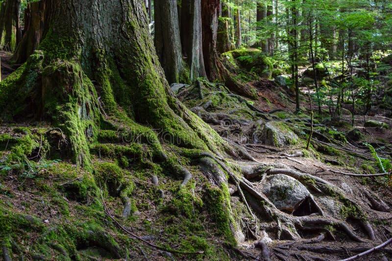 Blootgestelde mos behandelde wortels en boomboomstammen stock afbeeldingen