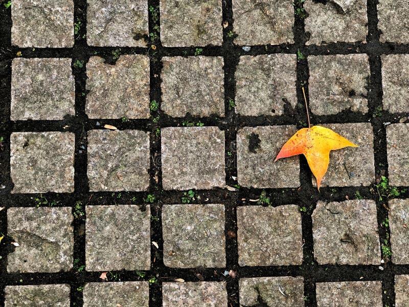 Bloque cuadrado de ladrillo de Footpath con hojas de arce amarillas, el hermoso camino del medio ambiente natural en la temporada  imágenes de archivo libres de regalías