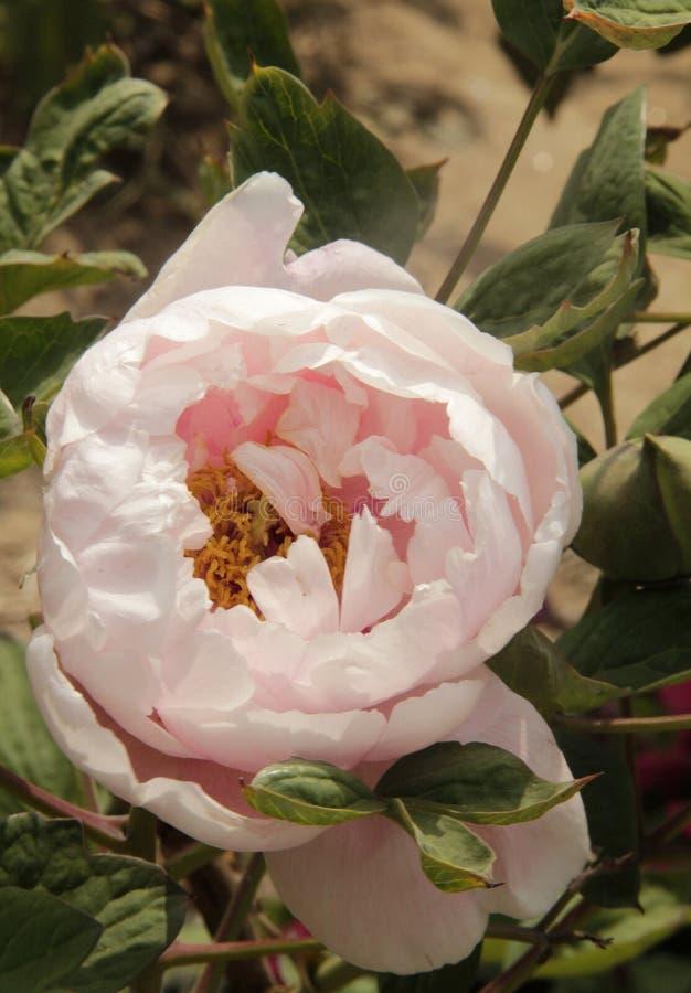 Blosoms cor-de-rosa da peônia fotografia de stock