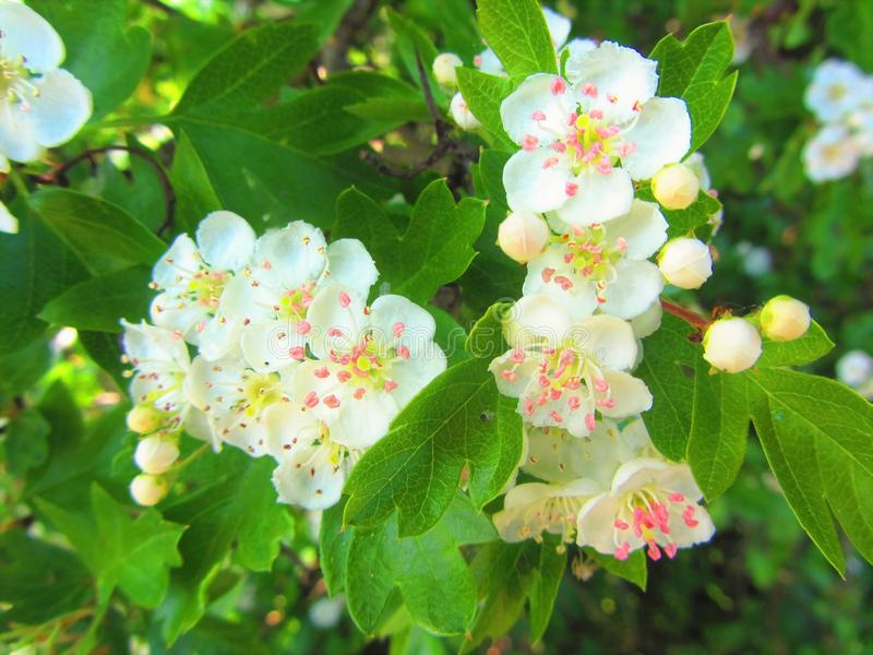 Blossem blanc photos stock