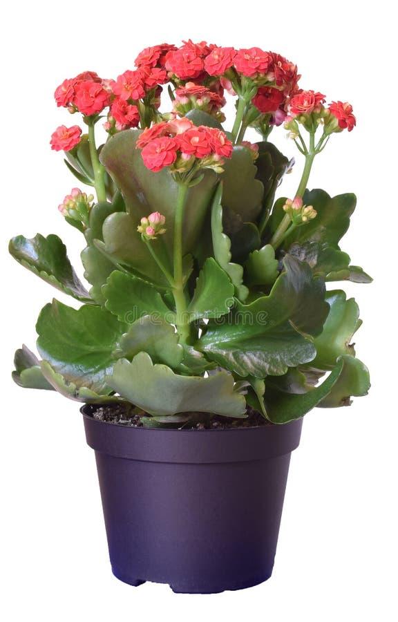 Blossfeldiana de Kalanchoe, flores rojas en el pote plástico aislado en el fondo blanco fotos de archivo