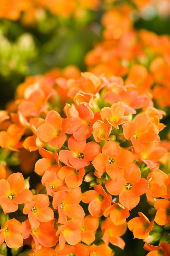 Blossfeldiana di Kalanchoe immagini stock
