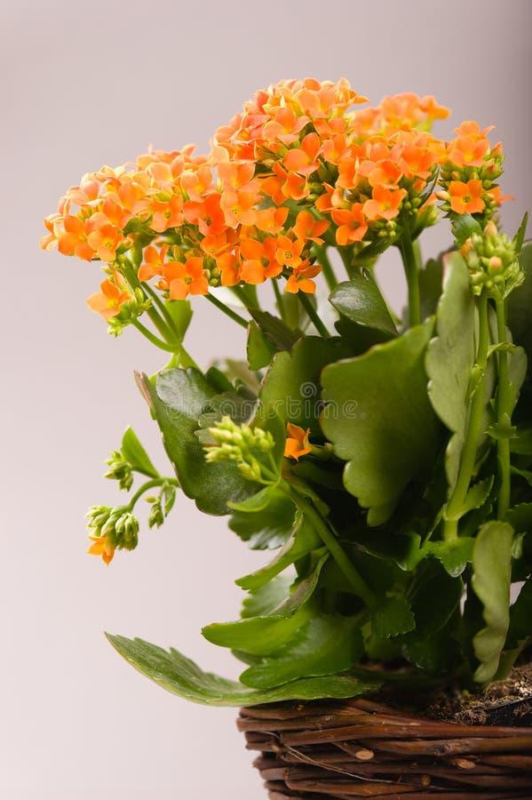 Blossfeldiana van Kalanchoe royalty-vrije stock foto