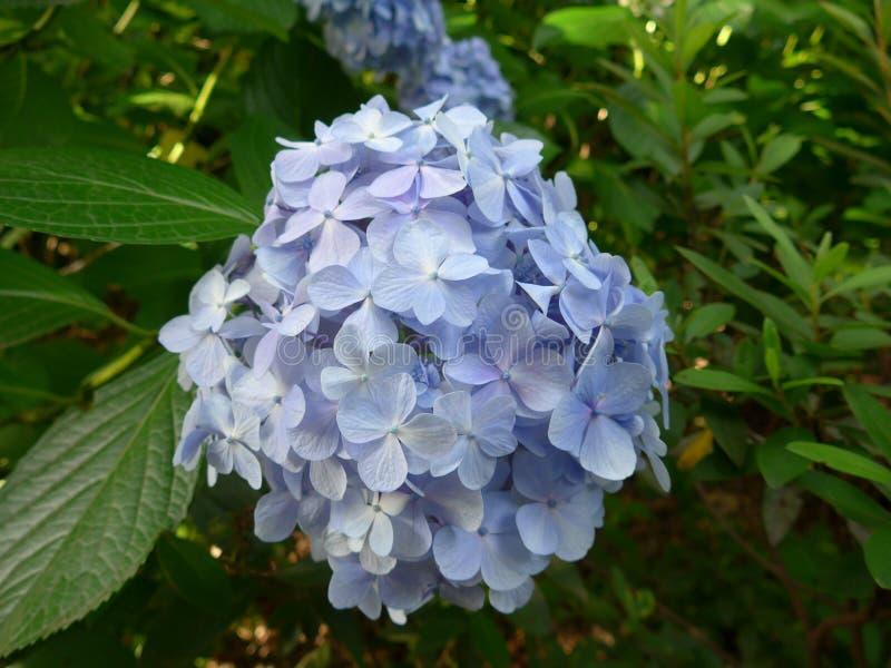 Blossming Hydrangea στην Ιαπωνία το καλοκαίρι στοκ εικόνες με δικαίωμα ελεύθερης χρήσης