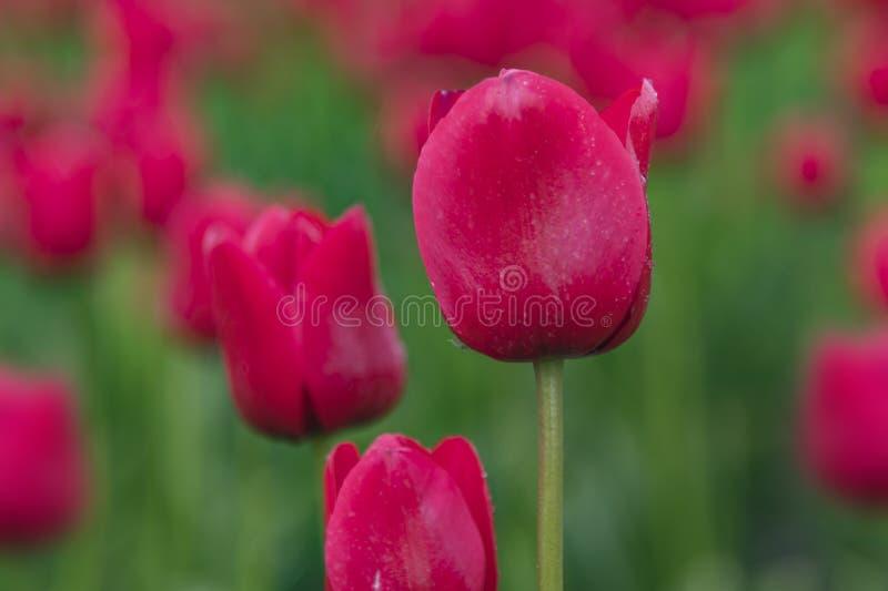 Blosso florescido vermelho das tulipas; fotografia de stock