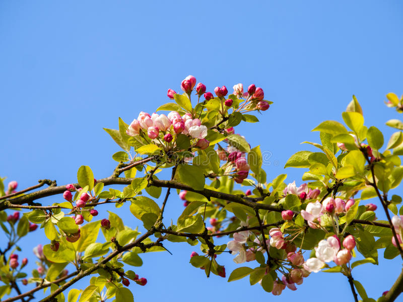 Download Blossom stock photo. Image of buds, tree, branches, season - 24544094