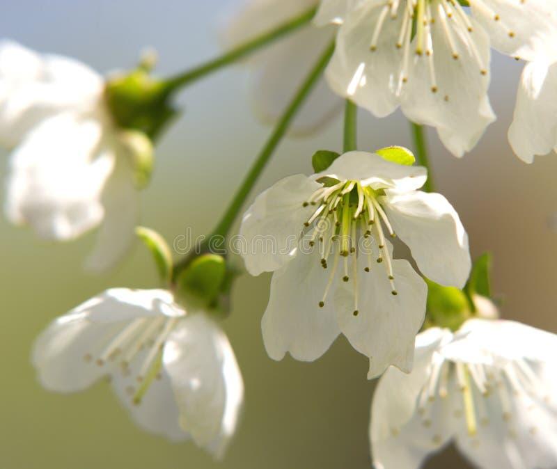 A blossom royalty free stock photos