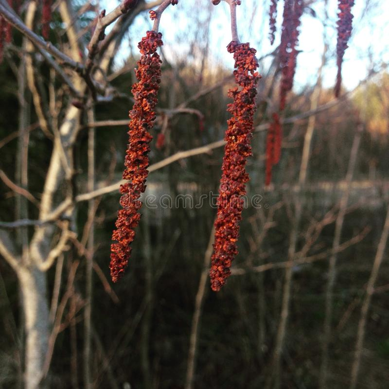 The blossom of alder tree stock photography