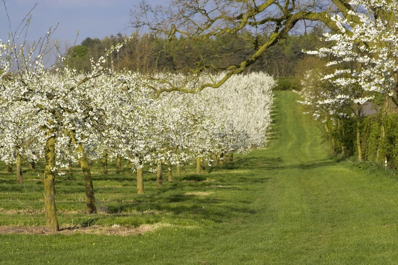 Blossom apple orchards. The blossom on apple trees. The orchards are in the vale of evesham worcestershire uk royalty free stock images