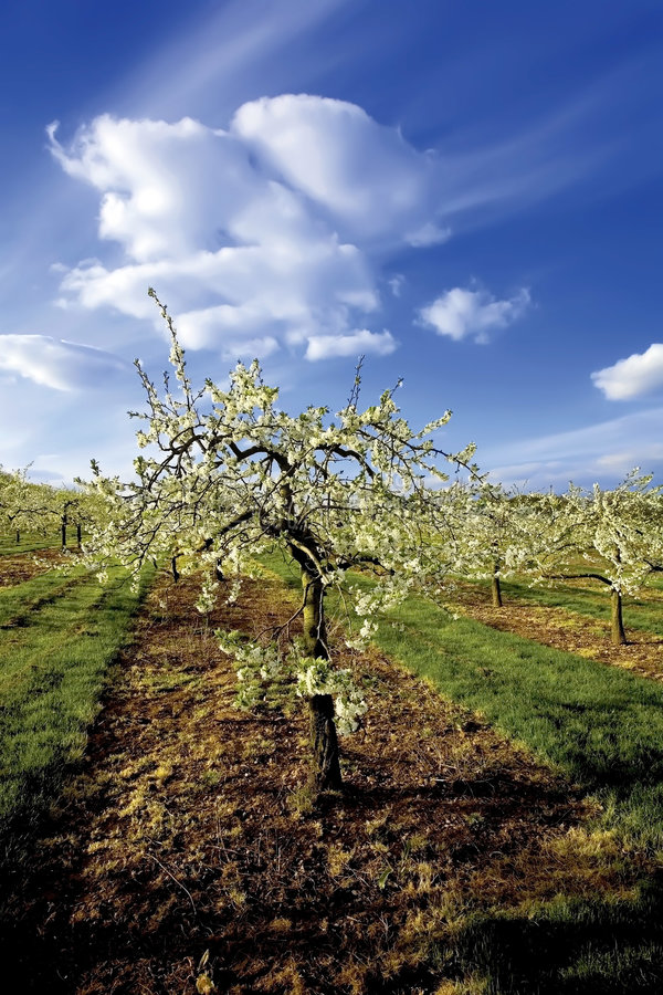 Blossom apple orchards. The blossom on apple trees. The orchards are in the vale of evesham worcestershire uk royalty free stock photos