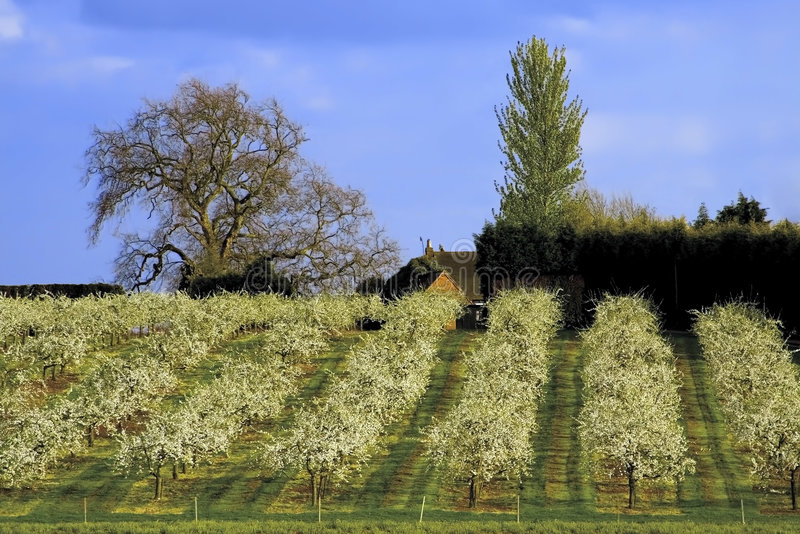 Download Blossom apple orchards stock image. Image of agricultural - 4389933