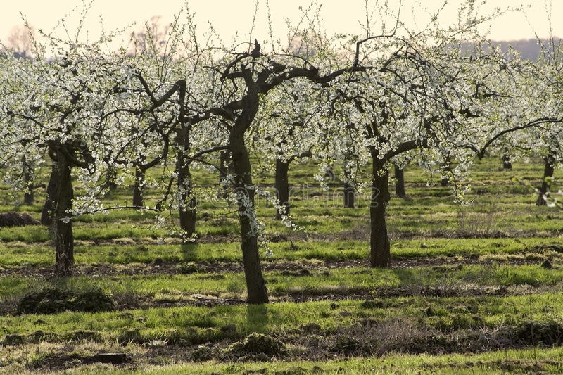 Blossom apple orchards. The blossom on apple trees. The orchards are in the vale of evesham worcestershire uk royalty free stock photo