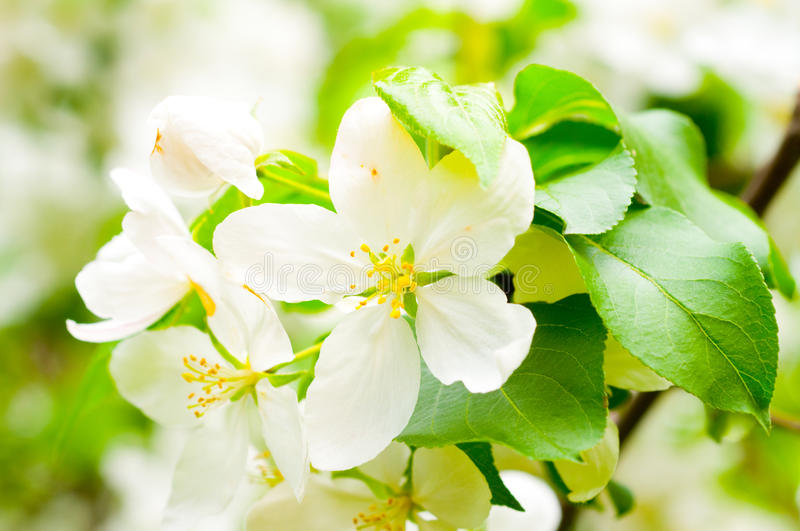 Download Blossom apple tree stock image. Image of beauty, fruit - 12425055